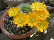 yellow Crown Cactus