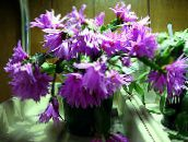 lilac Easter Cactus