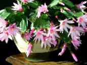rosa Easter Cactus