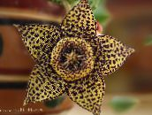 brown Carrion Plant, Starfish Flower, Starfish Cactus Succulent