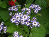 light blue Cineraria cruenta Herbaceous Plant