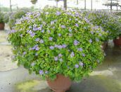 light blue Persian Violet Herbaceous Plant