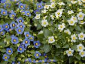 white Persian Violet Herbaceous Plant