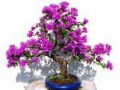 lilac Paper Flower Shrub