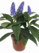 dark blue Blue Ginger Herbaceous Plant