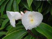white Fiery Costus Herbaceous Plant