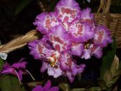 lilac Tiger Orchid, Lily of the Valley Orchid Herbaceous Plant