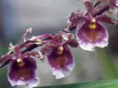 purple Dancing Lady Orchid, Cedros Bee, Leopard Orchid Herbaceous Plant
