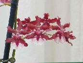 red Dancing Lady Orchid, Cedros Bee, Leopard Orchid Herbaceous Plant