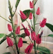 pink Pavonia Herbaceous Plant