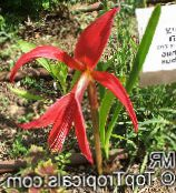 red Aztec Lily, Jacobean Lily, Orchid Lily Herbaceous Plant