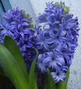 light blue Hyacinth Herbaceous Plant