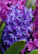dark blue Hyacinth Herbaceous Plant