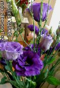 dark blue Texas Bluebell, Lisianthus, Tulip Gentian Herbaceous Plant