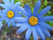 light blue Blue Daisy Herbaceous Plant