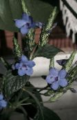 light blue Blue sage, Blue eranthemum Shrub