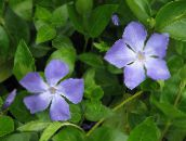 light blue Madagascar Periwinkle, Vinca Hanging Plant