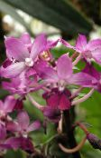 pink Calanthe Herbaceous Plant
