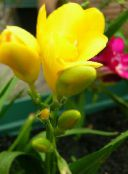 yellow Sparaxis Herbaceous Plant