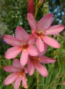 pink Tritonia Herbaceous Plant