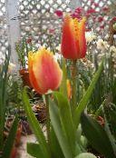 red Tulip Herbaceous Plant
