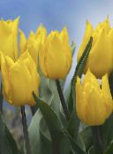 yellow Tulip Herbaceous Plant