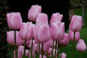 pink Tulip Herbaceous Plant