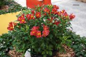 red Peruvian Lily Herbaceous Plant