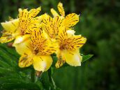 yellow Peruvian Lily Herbaceous Plant