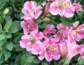 pink Peruvian Lily Herbaceous Plant