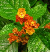red Chrysothemis Herbaceous Plant