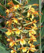 orange Hedychium, Butterfly Ginger Herbaceous Plant
