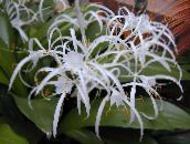 white Spider Lily Herbaceous Plant