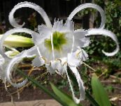 white Spider Lily, Ismene, Sea Daffodil Herbaceous Plant
