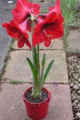 red Amaryllis Herbaceous Plant