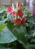red Flamingo Flower, Heart Flower Herbaceous Plant