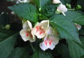 white Patience Plant, Balsam, Jewel Weed, Busy Lizzie