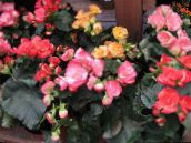 pink Begonia Herbaceous Plant