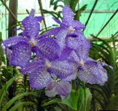 light blue Vanda Herbaceous Plant