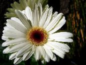 white Transvaal Daisy Herbaceous Plant