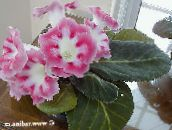 pink Sinningia (Gloxinia) Herbaceous Plant