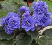 dark blue African violet Herbaceous Plant