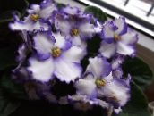 white African violet Herbaceous Plant
