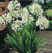 white African blue lily Herbaceous Plant
