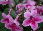 pink Strep Herbaceous Plant