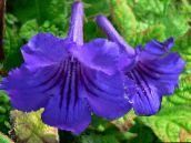 dark blue Strep Herbaceous Plant