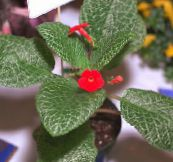 red Episcia Herbaceous Plant