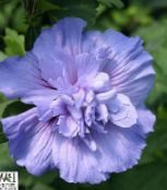 light blue Hibiscus Shrub