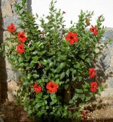 red Hibiscus Shrub