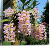 pink Dendrobium Orchid Herbaceous Plant